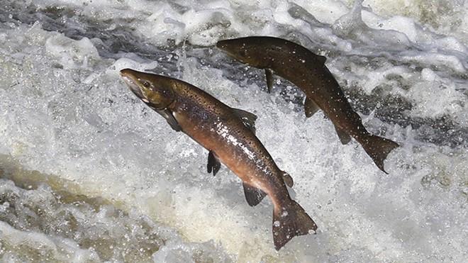 salmon-660x550